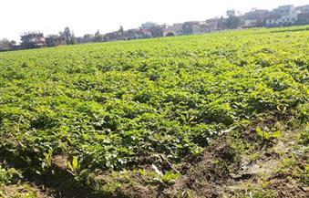 وكيل زراعة دمياط يتفقد زراعات البطاطس