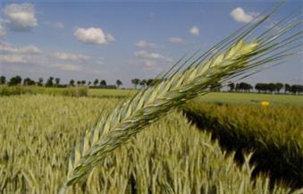 بحوث الصحراء: 50 فدانا لتجارب زراعات القمح والشعير بمطروح