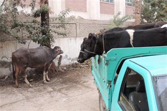 حاولا التصدى لمجهولين سرقا ماشية من حظيرة مواطن.. فأصيبا بأعيرة نارية بالفيوم
