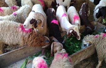 مجلس الوزراء يكشف حقيقة تعاقد الأوقاف على شراء لحوم مذبوحة كأضاحٍ بدلاً من رءوس الماشية الحية