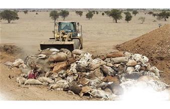 نفوق 30 رأس ماشية داخل مزرعة بالدقهلية.. ومالكها: حيوان ضال عقرها