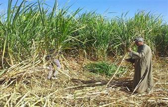 """قصب السكر.. """"المزارعون"""" يشتكون.. و""""زراعة النواب"""" تناشد الرئيس التدخل.. والحكومة ترفع السعر625 جنيهًا للطن"""