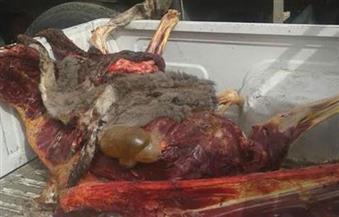 إحالة متهم ضبط بحوزته 600 كيلو لحم حمير بالعمرانية للمحاكمة أمام الجنح