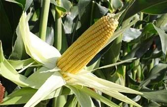 المنوفية تحصد المركز الأول فى إنتاجية الذرة الشامية على مستوى الجمهورية لعام 2016