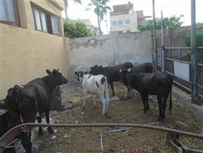 وزير سوداني:اتفاق لتصدير 800 ألف رأس أبقار إلى مصر