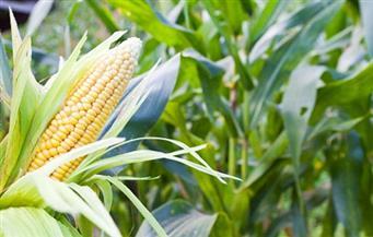 """""""الزراعة"""": النهوض بالذرة الشامية في 14 محافظة.. والبنا: نستهدف زراعة ١.٥ مليون فدان من المحصول هذا العام"""