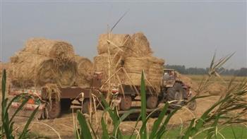 حصاد 50 ألف فدان أرز بدمياط