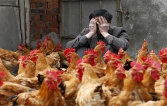 اليابان تأمر بإعدام أعداد من الدجاج في ثالث ظهور لانفلونزا الطيور في أقل من أسبوع