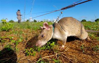 استخدام فئران إفريقية في الكشف عن الألغام والصيد غير القانوني