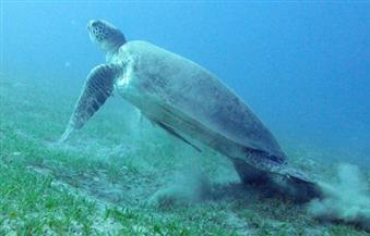 """""""المسطحات المائية"""" بالإسكندرية تنقذ سلحفاة مهددة بالانقراض وتعيدها للبحر"""