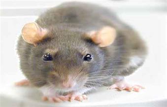 """فأر يقطع التيار الكهربائي ويعطل باليه """"الجمال النائم"""" بأستراليا"""