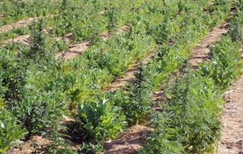 ضبط نصف فدان مزروع بنبات البانجو بأرض زراعية ملك عامل بالغربية