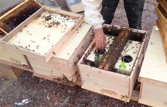 أصحاب المناحل ينتقدون عدم توفير احتياجاتهم من السكر لتغذية النحل بالفيوم