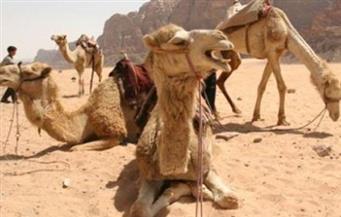 """""""الزراعة"""": عزل 19 رأسًا من الإبل مصابة بالكورونا قادمة من السودان.. وضبط 600 كيلو من لحوم الحمير بالجيزة"""