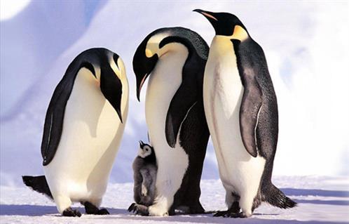 البطريق القطبي