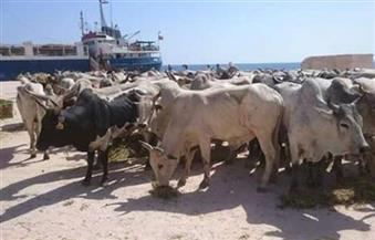 ميناء سفاجا يستقبل شحنة عجول سودانية
