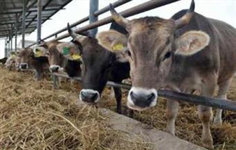 برنامج لتحصين الثروة الحيوانية ضد الحمى القلاعية والوادى المتصدع بالمنيا