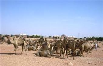 """بعد تبين خلوها من """"الكرونا""""..  الحجر الصحي في """"أبو سمبل"""" يفرج عن شحنة جمال قادمة من السودان"""