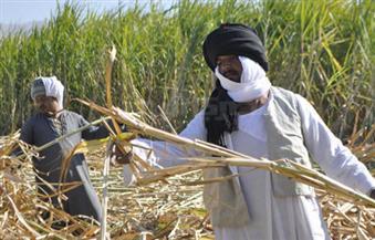 وكيل زراعة البرلمان: إقرار الرئيس زيادة توريد قصب السكر يستفيد منه 150 ألف أسرة