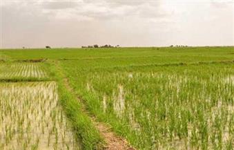 وكيل رى المنوفية: الفلاحون زرعوا 5 آلاف فدان أرز بالمخالفة للقانون