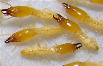 """الليلة.. """"مساء dmc"""" يرصد دور وزارة الزراعة فى القضاء على النمل الأبيض"""