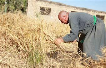 بدء حصاد القمح والشعير الجماعي بالنجيلة بمطروح..  و٢٥٪ من العائد للأعمال الخيرية