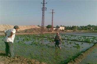 """""""الوزراء"""": لا تنازل عن غرامات الأرز على المزارعين المخالفين"""
