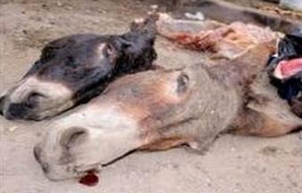 ضبط مواطن يذبح الحمير في منزله بالفيوم
