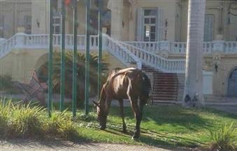 بالصور.. الخيول تأكل المساحات الخضراء أمام فندق شهير وكورنيش النيل بالأقصر.. والمحافظ يأمر بالتحقيق