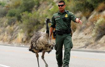 """صورة اليوم .. جندى أمريكى ينقذ طائر """"الإيمو"""" النادر من الدهس بعد هربه من حرائق الغابات فى كاليفورنيا"""