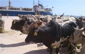 وصول أولى شحنات العجول الصومالية لميناء أبو طرطور