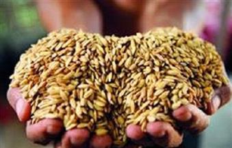 ننشر تفاصيل شراء القطاع الخاص 1.5 مليون طن أرز شعير لصالح الحكومة.. وأقاويل حول تحديد 2150 جنيهًا للطن