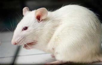 التقرير النهائي لواقعة بيع فئران تجارب في محل دواجن بالأقصر يبرئ البائع