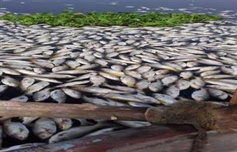 البيئة: الأسماك النافقة في فرع النيل بالغربية من أقفاص مخالفة.. والاختناق السبب
