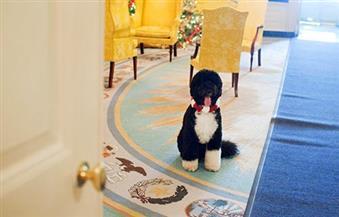 """قبل أيام على مغادرة البيت الأبيض..كلب""""أوباما"""" مصاب بالسعار وتسبب فى """"عاهة مستديمة"""" لصديقة الأسرة"""