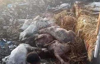 العثور على 50 حمارًا نافقًا بمصرف قرية ببركة السبع في المنوفية