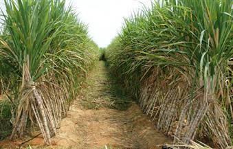 """مستقبل وطن"""" بقنا ينظم مؤتمرا جماهيريا حاشدا لمناقشة مشكلات مزارعي قصب السكر"""