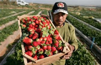 رسميا.. الاتحاد الأوروبي يلغي الفحوصات الإضافية المطبقة على الفراولة المصرية