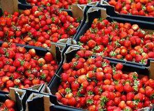 مصر الأولى عالميا في تصدير الفراولة المجمدة