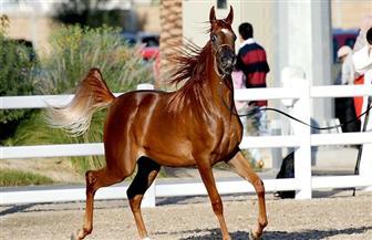 نائب وزير الزراعة تفتتح بطولة مصر القومية والدولية لجمال الخيول العربية الأصيلة