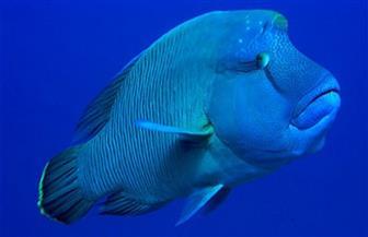 """انتهاء تحقيقات عرض سمكة """"نابليون"""" في بوفيه مطعم أحد فنادق مرسى علم"""