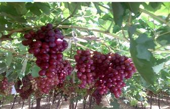 """""""التنمية المستدامة"""" بمطروح يقدم برامج مكافحة وحلول معلوماتية لآفات العنب والتين والزيتون"""