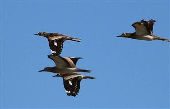 البيئة تعلن بدء موسم رصد وتسجيل الطيور المهاجرة برحلة عودتها إلى موطنها
