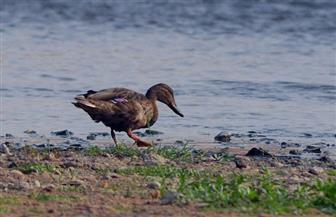 برنامج لإدارة الطيور المائية المهاجرة بالتعاون مع وزارة البيئة الفرنسية