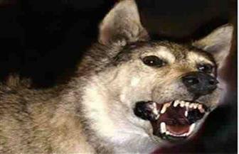 خفير يقتل ذئبًا هاجم العاملين بمخزن للمعدات بمشروع الصرف الصحي في الأقصر   صور
