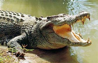 """ضبط تمساح بترعة """"الولجا"""" بالشرقية.. الأهالي خائفون من """"الأم"""".. ومدير حديقة الحيوان: لا داعي للقلق"""