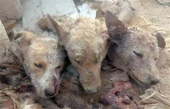 تشكيل لجنة للتحقيق في واقعة العثور على 3 رؤوس كلاب برأس غارب