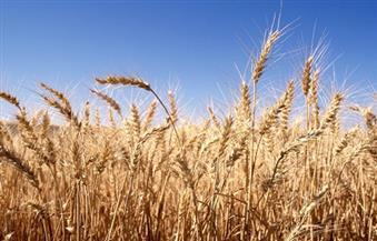 البنّا: هناك آليات لاستلام القمح من المزارعين وسيتم التصوير جويًا لمعرفة المساحات المزروعة بالقمح