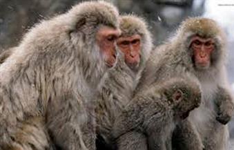 """اليابان تنفذ """"الإعدام الرحيم"""" بقرود المكاك .. وحفلة تأبين داخل معبد بوذى!"""