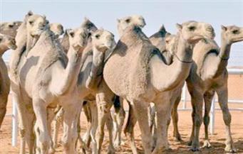 الحجر البيطري بأبو سمبل يستقبل 4 آلاف رأس جمل من السودان